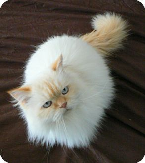 Himalayan Cat for adoption in Davis, California - Pierre