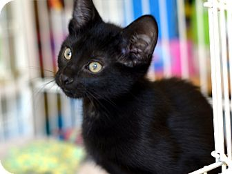 Bombay Kitten for adoption in Brooklyn, New York - Zuzia