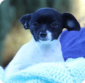 Chihuahua/Terrier (Unknown Type, Small) Mix Puppy for adoption in Yuba City, California - Beth Ann
