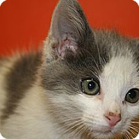 Adopt A Pet :: JESSE - SILVER SPRING, MD