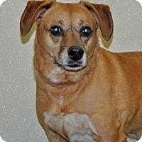 Adopt A Pet :: Apple - Port Washington, NY