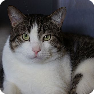 Domestic Shorthair Cat for adoption in Naperville, Illinois - Rocky