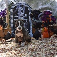 Adopt A Pet :: Lori - Charlemont, MA