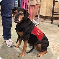 Adopt A Pet :: Brandy - Virginia Beach, VA