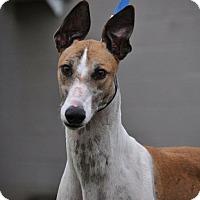 Adopt A Pet :: BRYSON - Columbia, SC