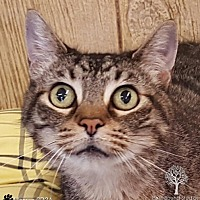 Domestic Shorthair Cat for adoption in Monroe, Michigan - Lily - Adoption Pending