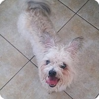 Westie, West Highland White Terrier Mix Dog for adoption in The Woodlands, Texas - Benneit