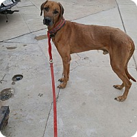 Adopt A Pet :: Big Red - Phoenix, AZ