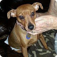 Miniature Pinscher Dog for adoption in Nashville, Tennessee - Debra