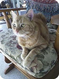 Domestic Shorthair Cat for adoption in Laguna Woods, California - Princess Lilo