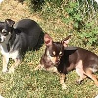 Adopt A Pet :: Chloe - Logan, UT