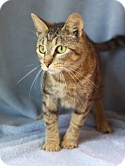 Domestic Shorthair Cat for adoption in South Haven, Michigan - Mitts