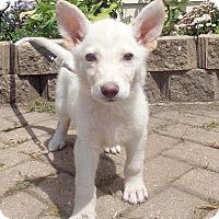Adopt A Pet :: Icelandi - West Chicago, IL