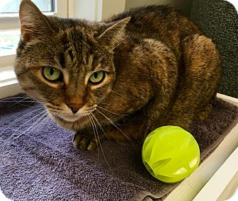 American Shorthair Cat for adoption in Ossipee, New Hampshire - Stella