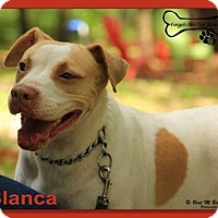 Pit Bull Terrier Mix Dog for adoption in Sarasota, Florida - Blanca