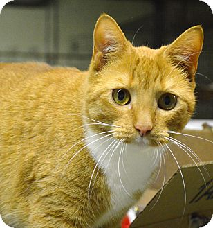 Domestic Shorthair Cat for adoption in Butner, North Carolina - Tilley