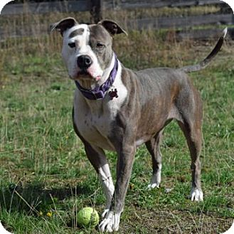 American Staffordshire Terrier Mix Dog for adoption in McKenna, Washington - Lucy