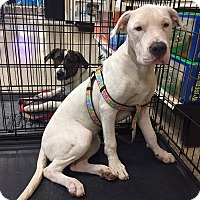 Adopt A Pet :: Wesslyne - Arlington/Ft Worth, TX