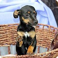 Adopt A Pet :: PUPPY CHOCOLATE CHIP - richmond, VA
