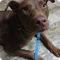 Pit Bull Terrier/Labrador Retriever Mix Dog for adoption in Atlanta, Georgia - Chuck