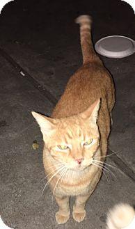Domestic Shorthair Cat for adoption in Houston, Texas - TOM TOM
