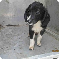Collie Mix Dog for adoption in Conroe, Texas - A279795