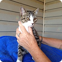 Domestic Shorthair Cat for adoption in Pulaski, Tennessee - Wheaties