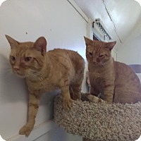 Domestic Shorthair Cat for adoption in Owenboro, Kentucky - ELVIN and ASTRO!