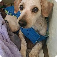 Adopt A Pet :: Dodge (BH) - Santa Ana, CA