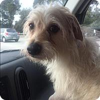 Adopt A Pet :: Apollo - Encino, CA