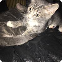 Adopt A Pet :: Smartie - Warren, MI