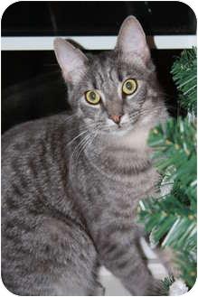 Domestic Shorthair Cat for adoption in Washington Terrace, Utah - Tate