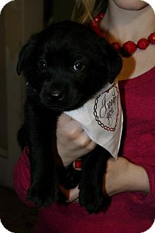 Labrador Retriever Mix Puppy for adoption in Huntsville, Alabama - Sapphire