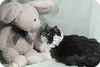 Domestic Longhair Cat for adoption in Kerrville, Texas - Lucky