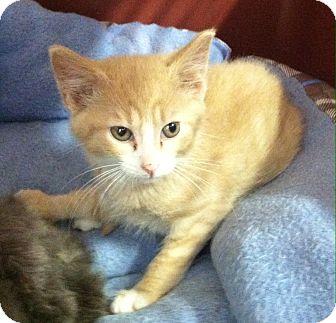 Domestic Shorthair Kitten for adoption in Greensburg, Pennsylvania - Juno