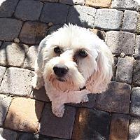 Adopt A Pet :: Bella 2 - Las Vegas, NV