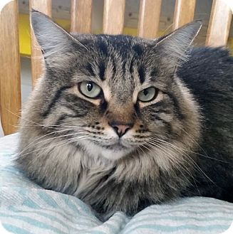 Domestic Mediumhair Cat for adoption in Mountain Center, California - Janey