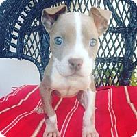 Adopt A Pet :: Monica - New Port Richey, FL