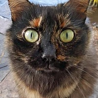 Adopt A Pet :: Misty - Walnut Creek, CA
