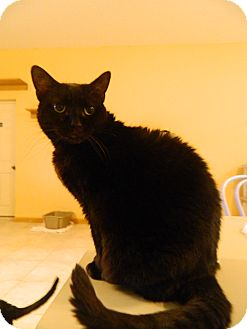 Domestic Shorthair Cat for adoption in Jupiter, Florida - Betty