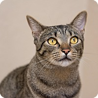 Adopt A Pet :: Charlie III - Fountain Hills, AZ