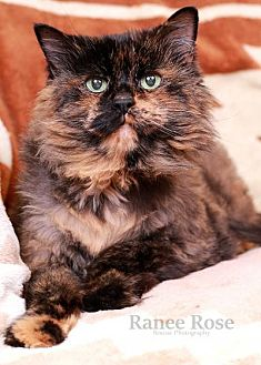 Domestic Mediumhair Cat for adoption in Sterling Heights, Michigan - Mary Jane
