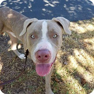 Mastiff/Weimaraner Mix Puppy for adoption in Hawthorne, California - Jax