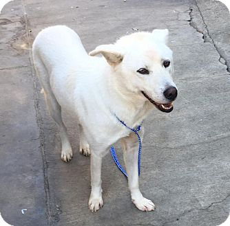 Jindo/Shiba Inu Mix Dog for adoption in Fullerton, California - Hachi