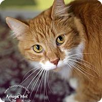 Domestic Mediumhair Cat for adoption in Lyons, New York - Han