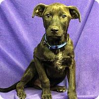 Adopt A Pet :: ROMEO - Westminster, CO