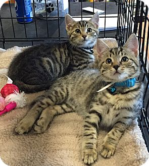 Domestic Shorthair Kitten for adoption in Horsham, Pennsylvania - Louis