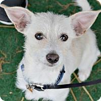 Adopt A Pet :: Clover - Sunnyvale, CA