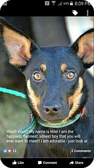 Manchester Terrier Mix Dog for adoption in Coopersburg, Pennsylvania - Niles
