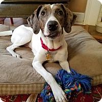 Pointer Dog for adoption in Washington, D.C. - Roxie fka Missy (Has Application)